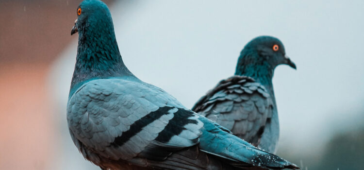 HD-Pic-of-Two-Gray-Pigeon