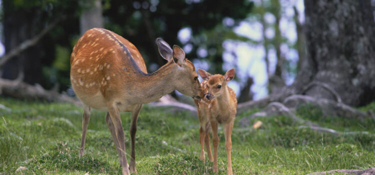 Mother-Deer-with-Baby-HD-Image