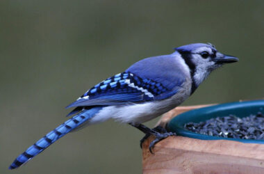 Pic-of-Blue-Jay