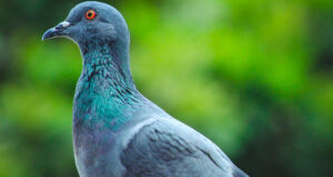 Pigeon-Image-in-HD