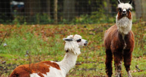 Two-Brown-and-White-Alpaca-HD-Wallpaper