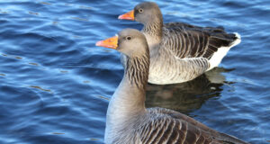 Two-Duck-on-Water-HD-Image