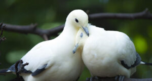 Two-White-Dove-on-Tree-Branch-Image