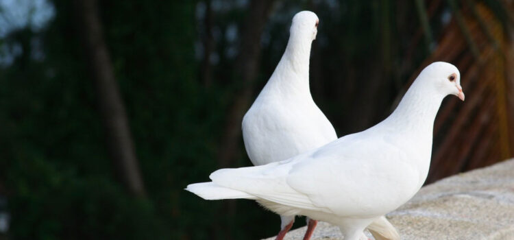 Two-White-Pigeon-HD-Image