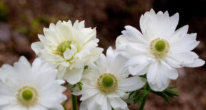 Anemone-Flowers-Image-HD