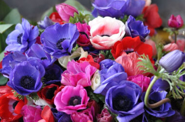 Anemone-Flowers-Image-in-HD
