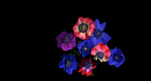 Anemone-Full-HD-Image