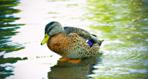 Beautiful-Duck-on-Water-HD-Image
