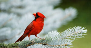 Cardinal-Picture-HD