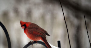Cardinal-Picture-in-HD