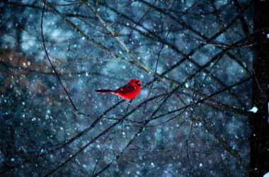 Cardinal-on-Tree-Branch-Pic-HD