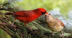 Cardinals-Image-in-HD