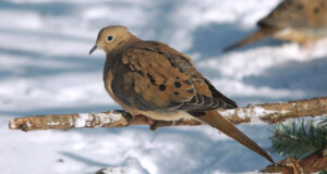 Dove-on-Tree-Branch-HD-Image