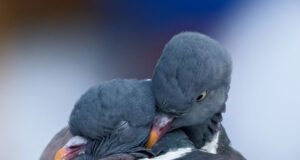 Doves-Image-HD