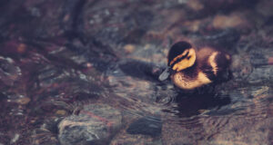 Duck-Baby-in-Water-HD-Pic