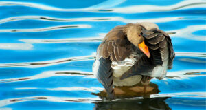 Duck-Playing-in-Water-Image-HD