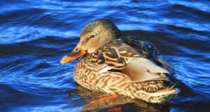 Duck-Swimming-in-Water-HD-Pic
