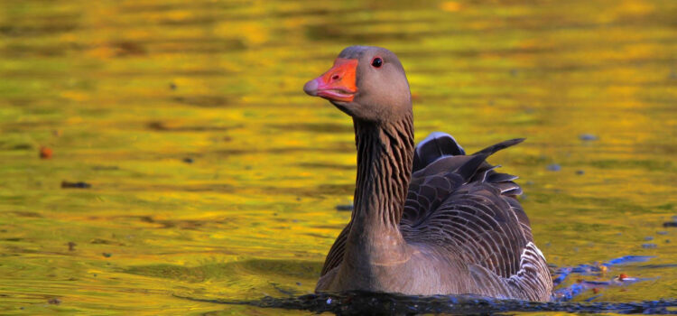 Duck-Swimming-in-Water-Pic-HD