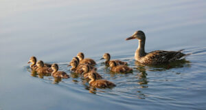 Duck-with-Babies-HD-Image