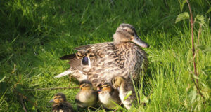 Duck-with-Babies-Image-HD