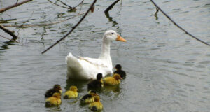 Duck-with-Babies-in-Water-Image