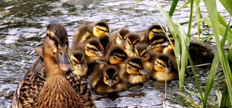 Duck-with-Babies-in-Water-Pic