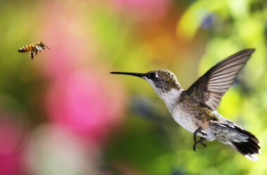 Flying-Hummingbird-HD-Image