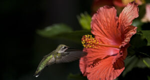 Flying-Hummingbird-Near-Flower-HD-Pic