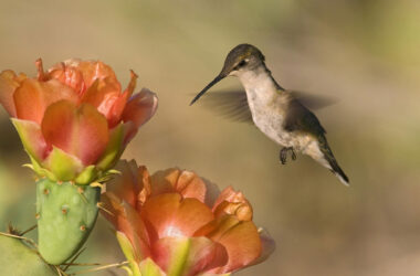 Flying-Hummingbird-Near-Flower-Image