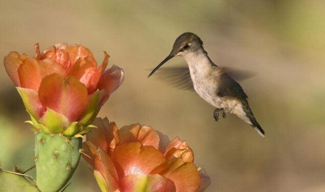 Flying Hummingbird Near Flower Image