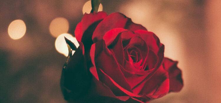 HD-Image-of-Red-Rose