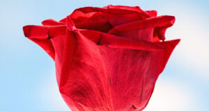 HD-Pic-of-Red-Rose