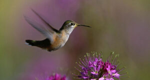 Hummingbird-Flying-Over-Flower-Image