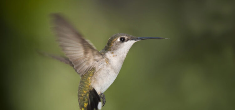 Hummingbird-Full-HD-Image