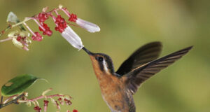 Hummingbird-Image-HD