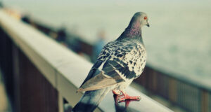 Image-of-Pigeon-in-HD