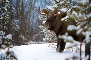 Moose-Standing-in-Forest-HD-Image