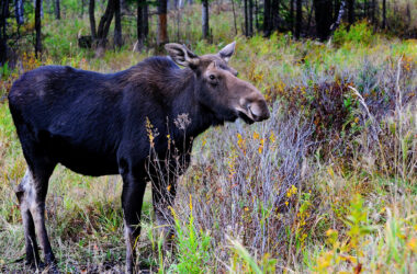 Moose-in-Forest-HD-Pic