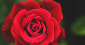Pic-of-Red-Rose-in-HD