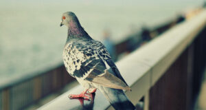 Pigeon-HD-Wallpaper