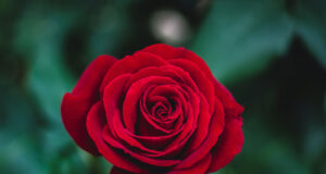 Red-Rose-Image-in-HD