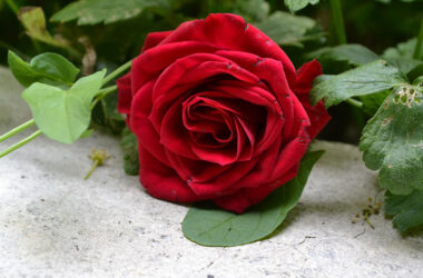 Red-Rose-Pic-in-HD