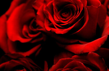 Red-Roses-Pic-HD