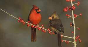 Two-Cardinal-HD-Image