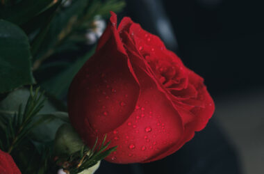 Water-Drops-on-Red-Rose-HD-Image