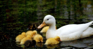 White-Duck-with-Babies-in-Water-Image