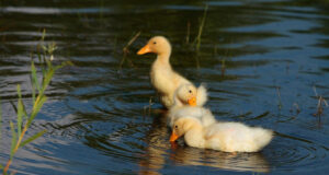 White-Ducks-in-Water-Image-HD