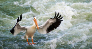 Flying-Pelican-Image