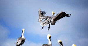 Flying-Pelican-Image-HD