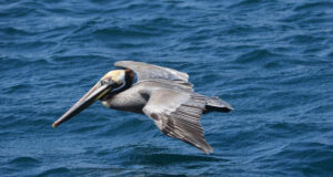 Flying-Pelican-Pic